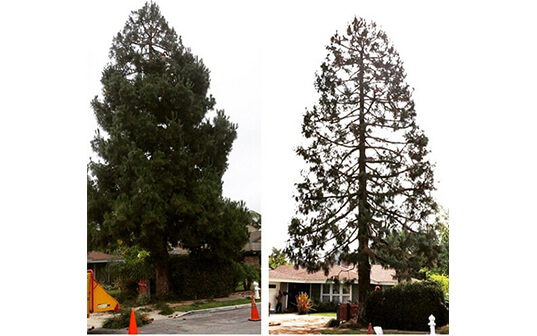 side by side before and after photos of tree reduction service