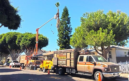 truck trimming a palm tree