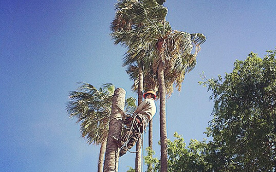 Supreme Tree Experts Worker climbed ontop and trimming palm tree