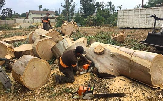 Supreme Tree Expert Workers Cutting Trees with Chainsaws