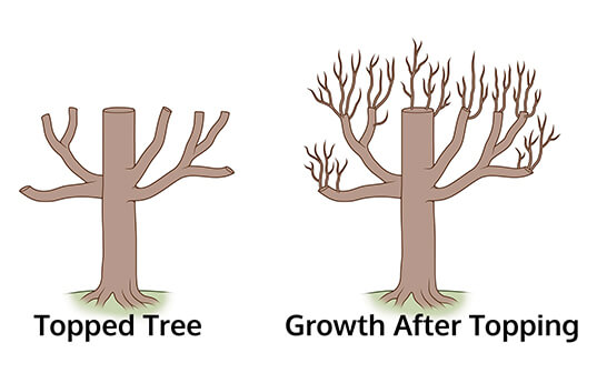 side by side diagram of topped tree next to tree with growth after topping