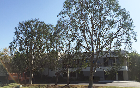 trimmed trees in front of commercial office building in santa ana california