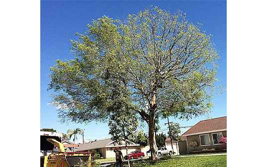 Supreme Tree Experts Worker Shearing Large Residential Tree